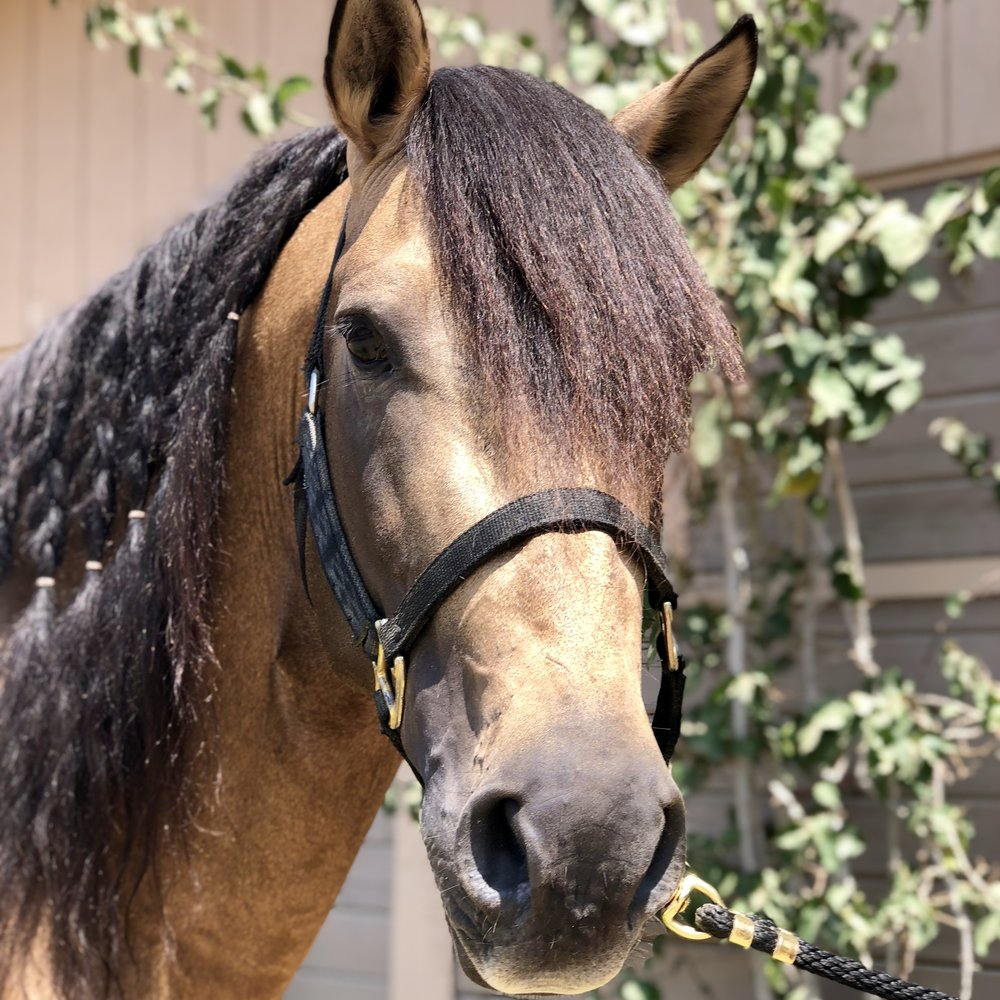 Huec-aran - Huec-aran is a buckskin PRE stallion  owed by Lisa Hathaway.