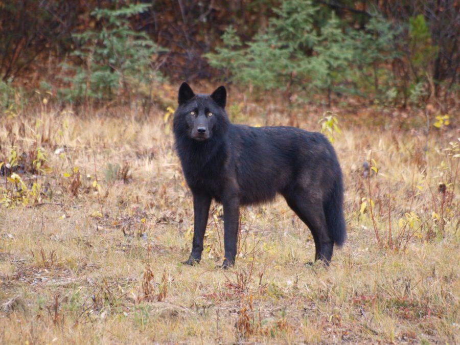 Wolf-900x675.jpg