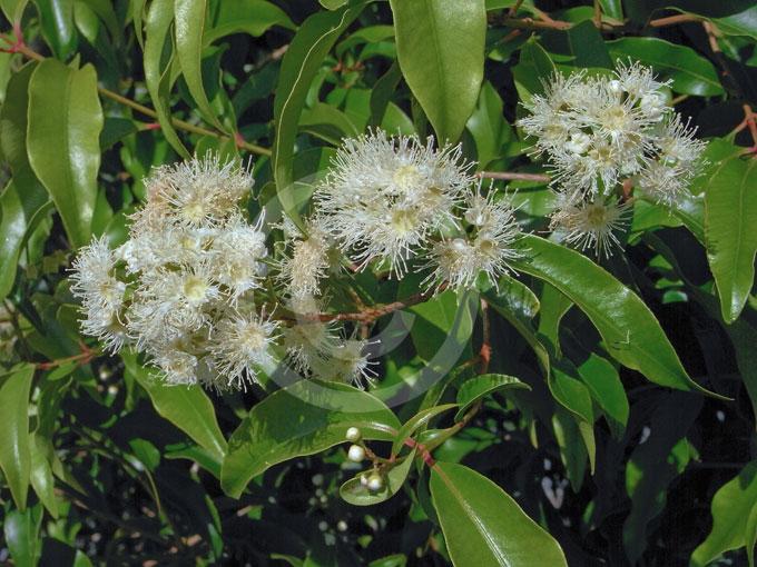 Syzygium anisatum