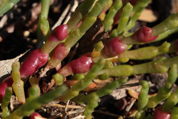 Sarcocornia quinqueflora