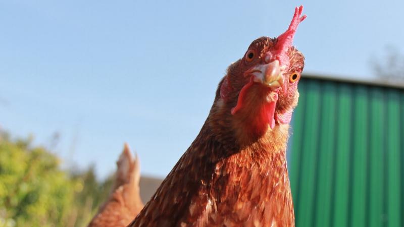 Chicken stare.jpg