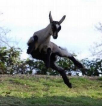 Capriole Goat