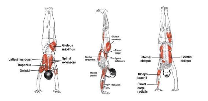 Handstand Muscle Groups