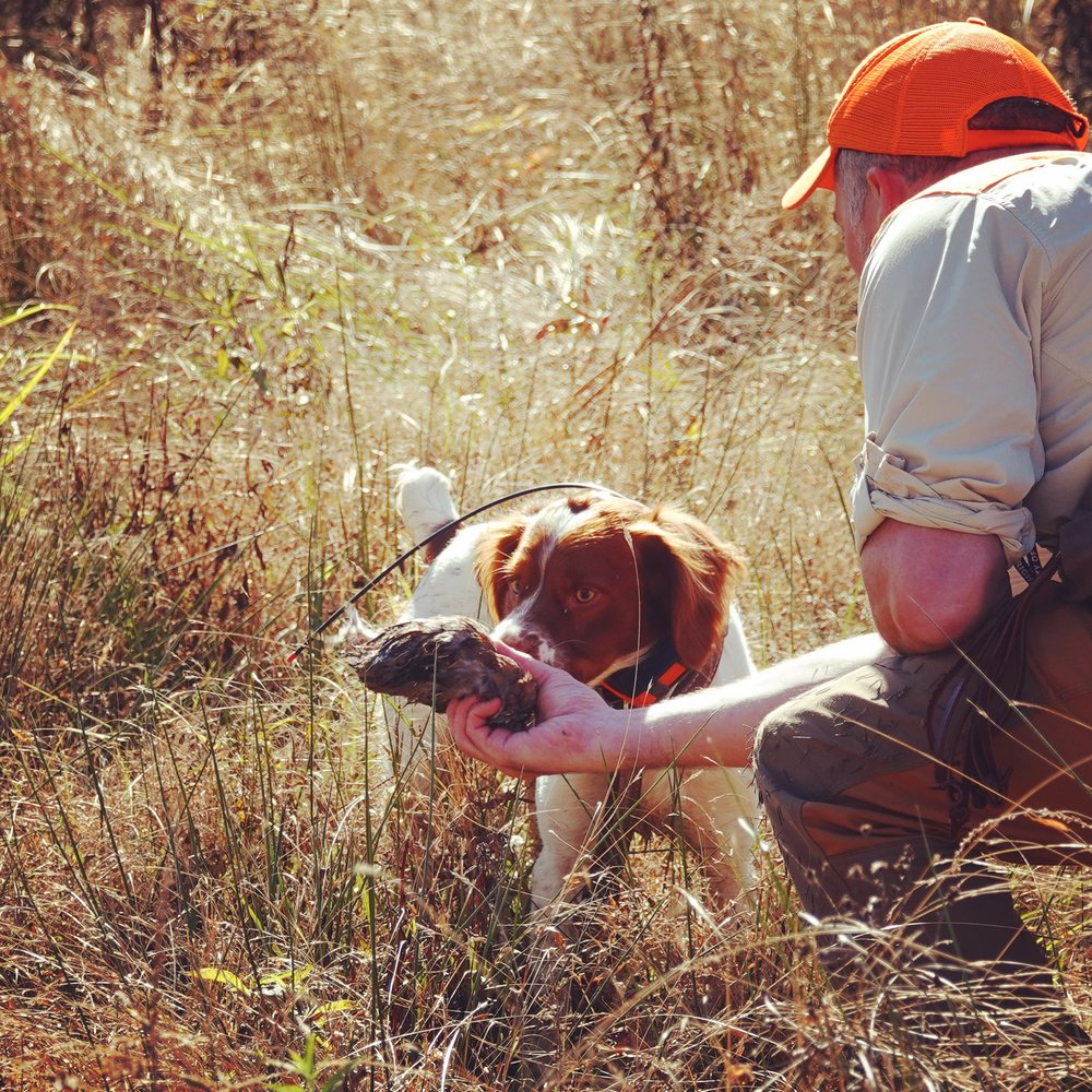 Lincoln's very first completed sequence on a bobwhite quail: point, hunt dead, retrieve to Robb's hand (photo credit: Virginie Pozo Donoghue)