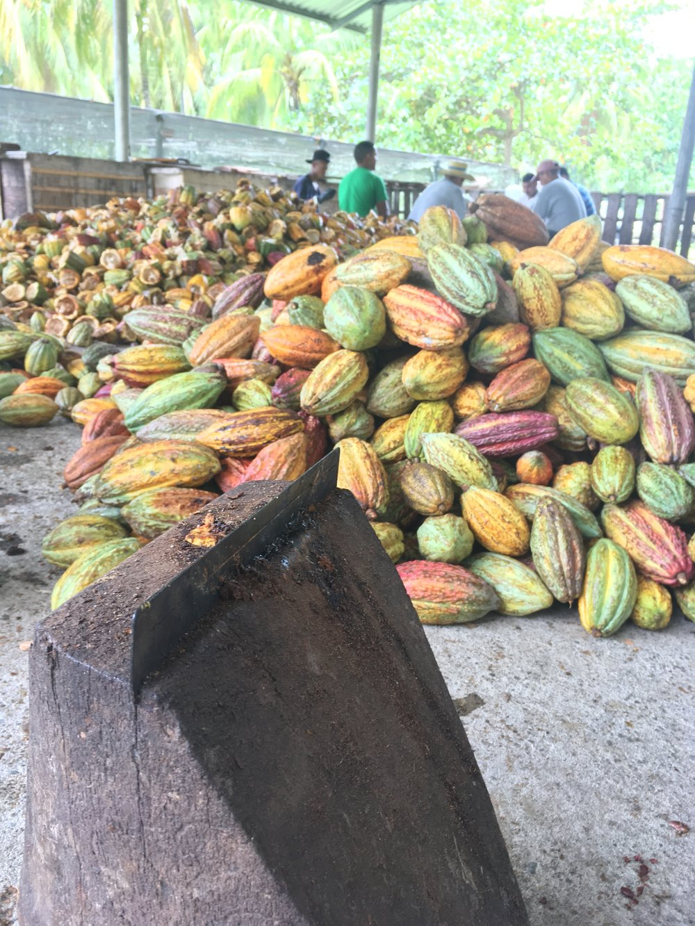 Opening Pods - At FHIA a post harvest processing facility in La Masica, Honduras. FHIA is a scientific research center that trains cacao farmers in Honduras.