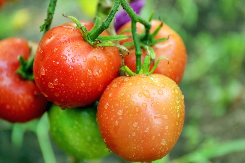 tomato fruit or veg.jpg