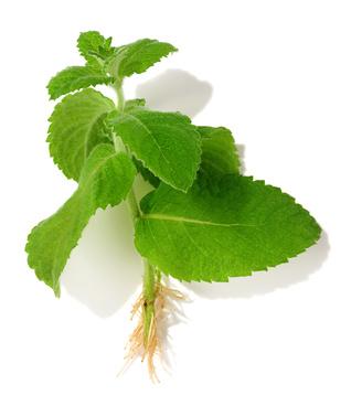 Herb_116798388_XS.jpg