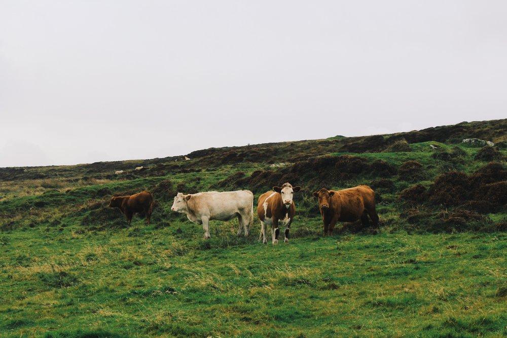 cows_uig_isleofskye.JPG