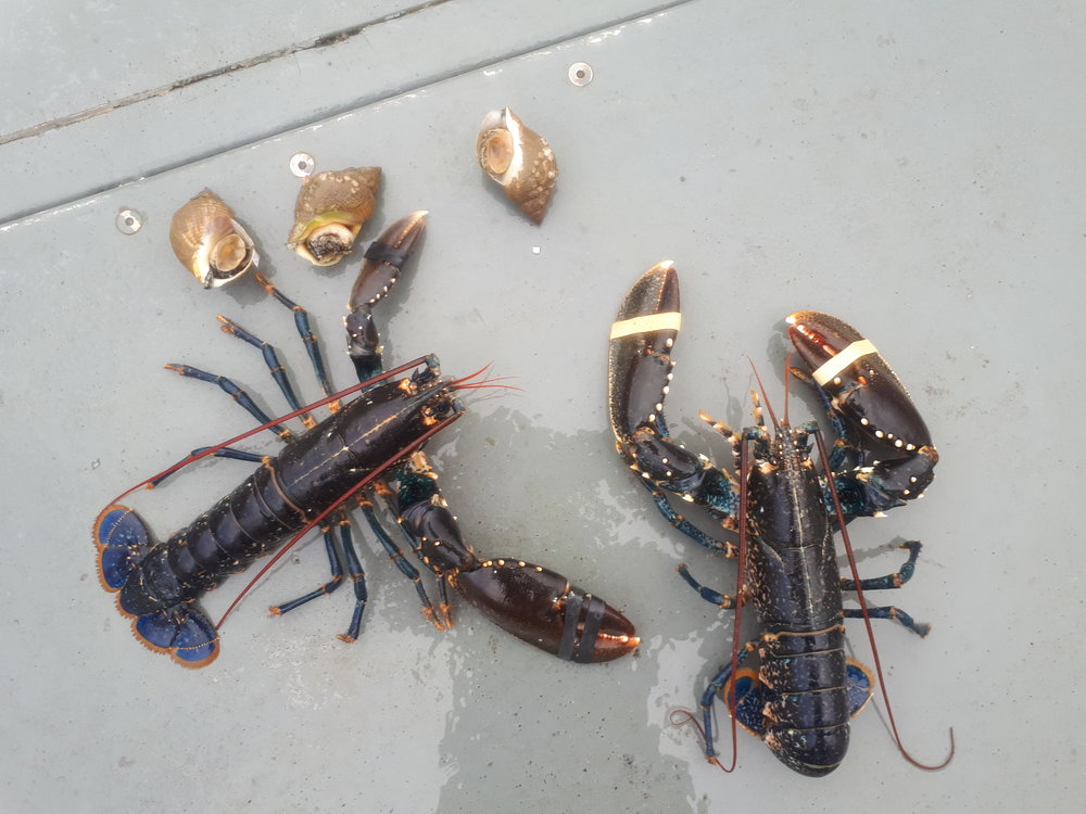 Lobster Safari on Galway Bay