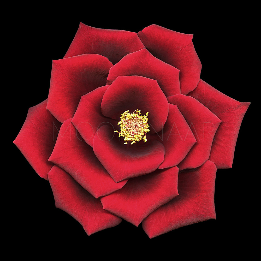 "Red Rose  by Lucien Moolenaar C-Type Print Aluminium & Perspex Mounted, 36x36"" (Edition of 10)"