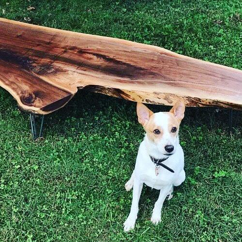 Parker.. aka Hobo McNubbins. #dogs #dogsofinstagram #jackrussell #coffeetable #wood #naturaledgewood #liveedge #liveedgetable #asheville #rescuedog #home #mountains