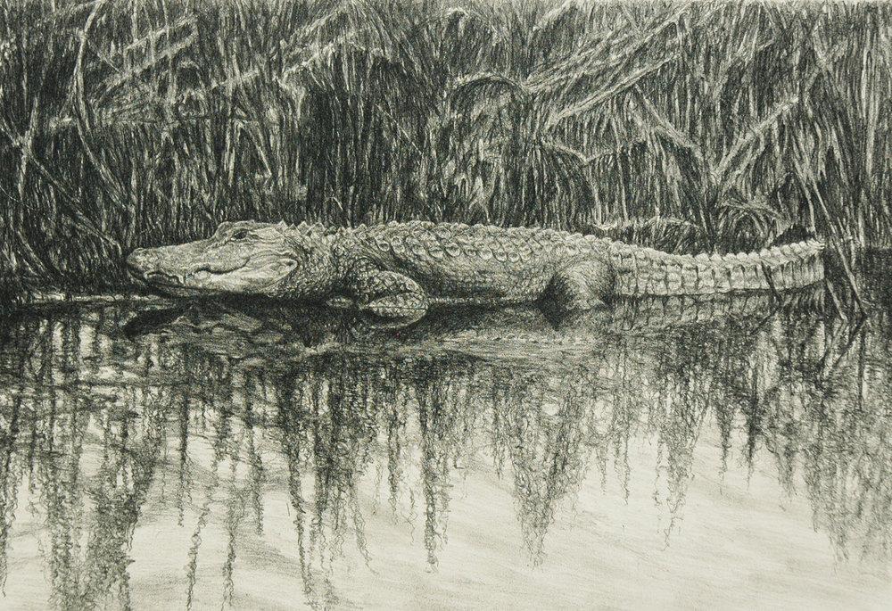Creal_Bear Island, Ameican Alligator.jpg.jpg