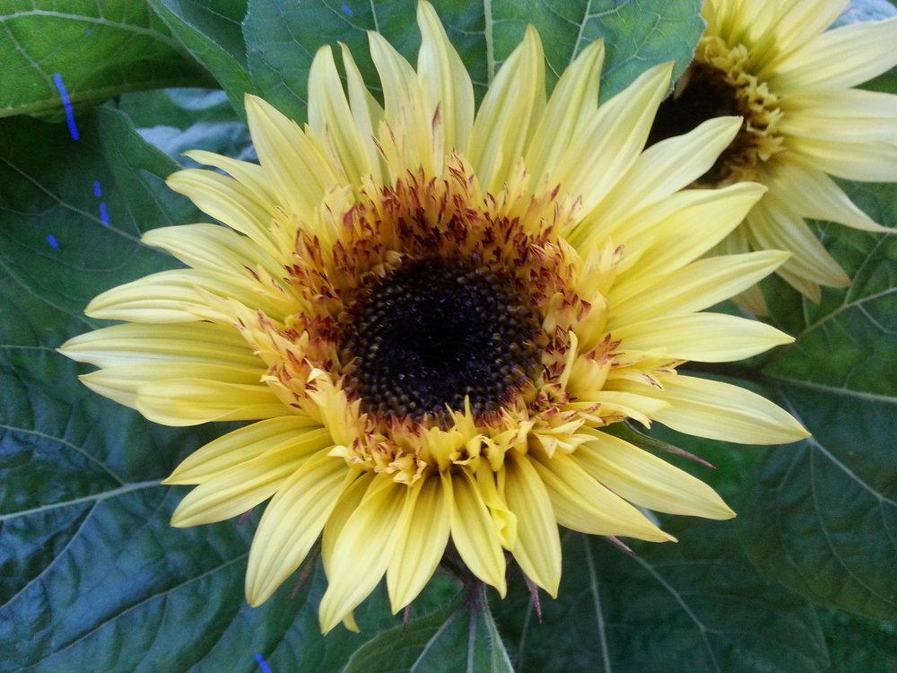 Lemon Eclair Sunflower