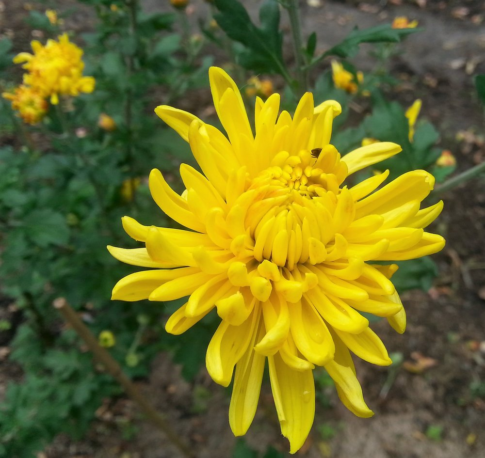 Cornetto Chrysanthemum
