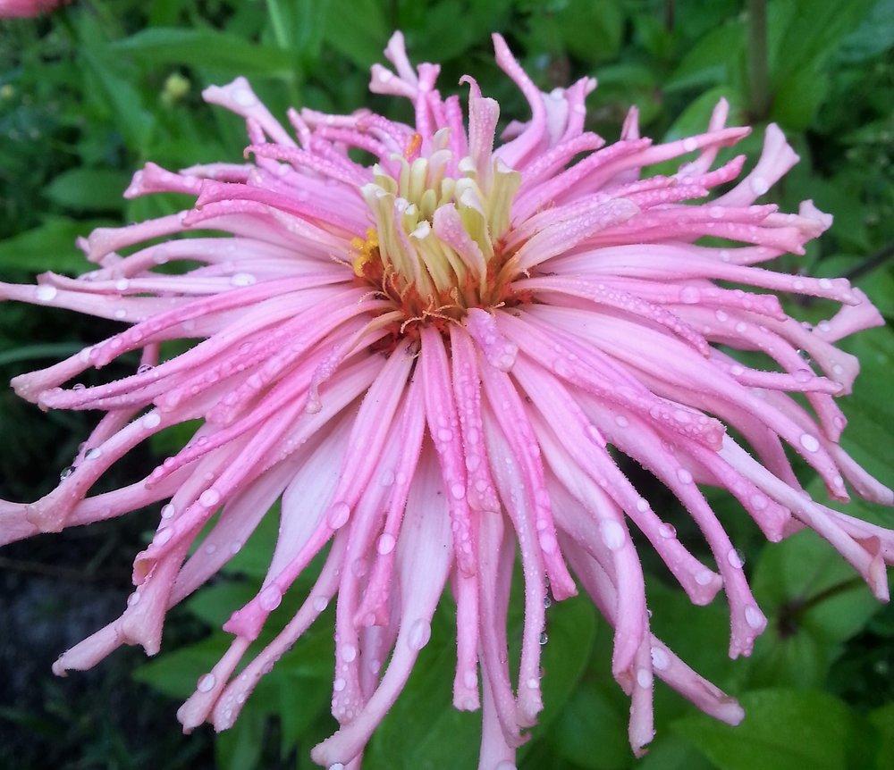 Pink Cactus Zinnia