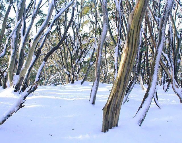 A few more inches have fallen at @mtbawbaw - - - - - #DownUnder #LittleDump #TreeRuns #SkiMelbourne #Snowsports #MountBawBAw