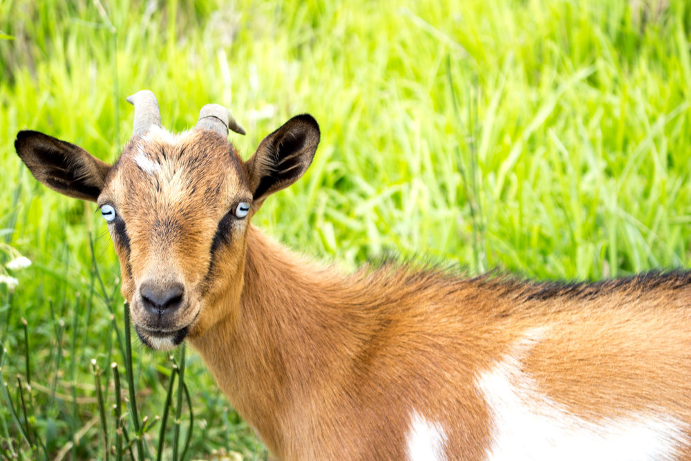 The goat herd helps manage weeds and fertilizes the soil