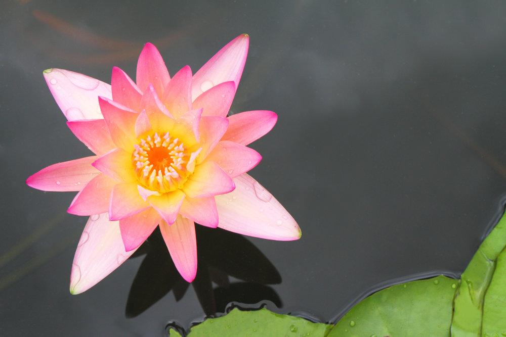 lotus_fykvD9Su.jpg
