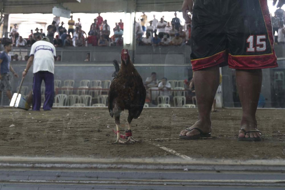 An owner escorts his bird around the pit before a match to familiarize the bird with the environment. - La Loma Cockpit Arena, Manila-