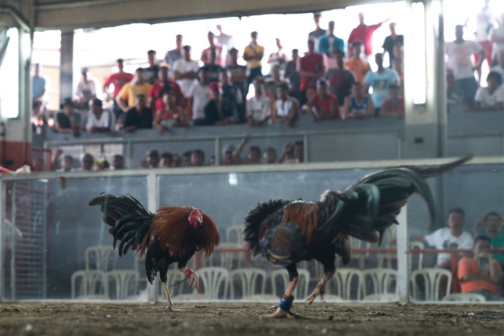 Two cocks charge at one another -La Loma Cockpit Arena, Manila