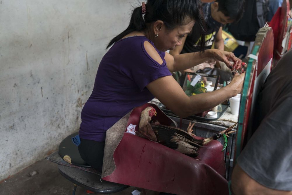 A Bird Doctor operates on a wounded bird after a match  -LaLoma Cockpit, Manila