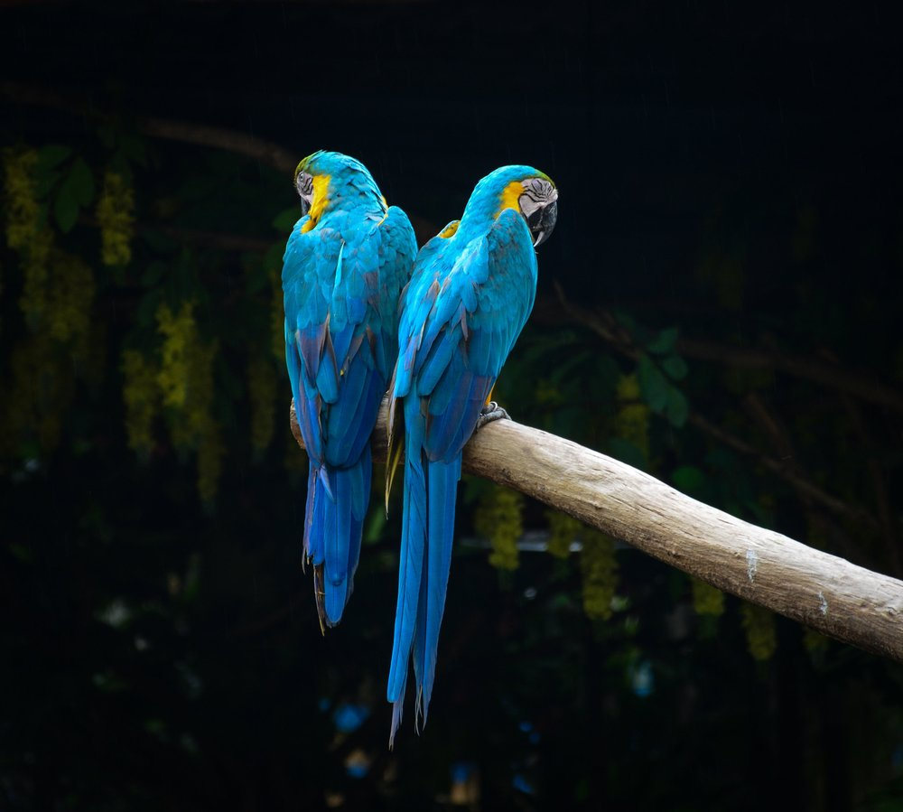 Macaws -