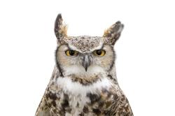 The MRCC's Great horned owl, Bu