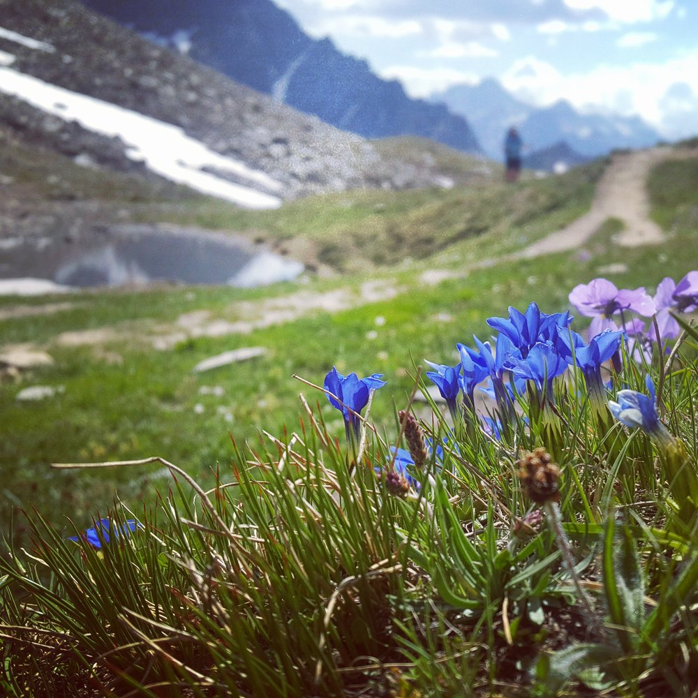 July away again, Alps to start, climbing a long awaited route the North East face of the Lenzspitze, then guiding a Tour de Mont Blanc for G Adventures. A week later I was in Russia leading on Elbrus for Jagged Globe. - Wild flowers in the Italian alps