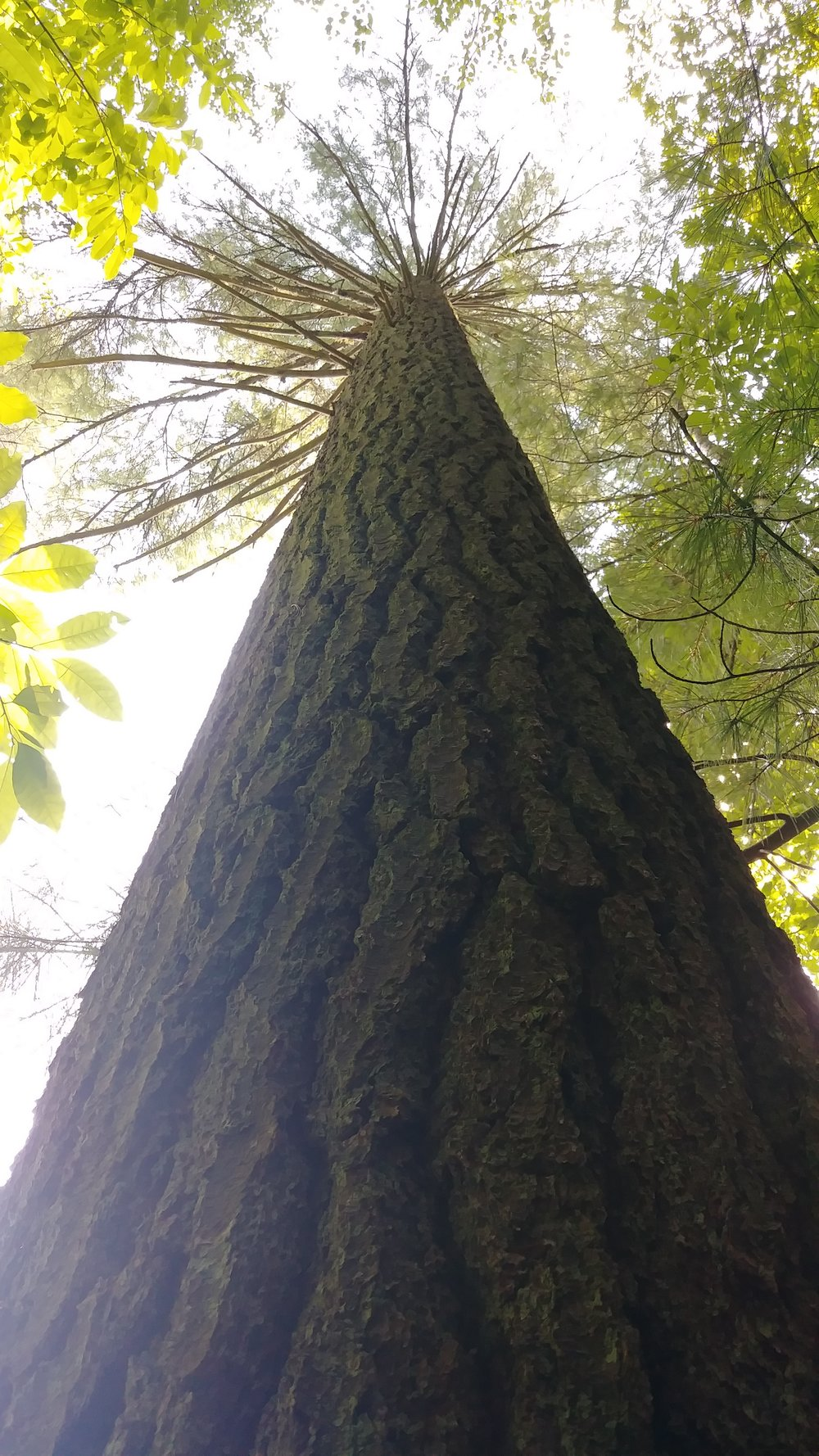 A big pine on Swift Camp Creek Trail in the Clifty Wilderness - where plenty of old trees reside