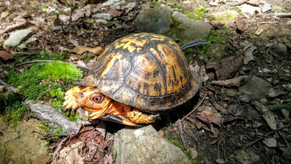 A box turtle sunning on Pine Mountain Trail