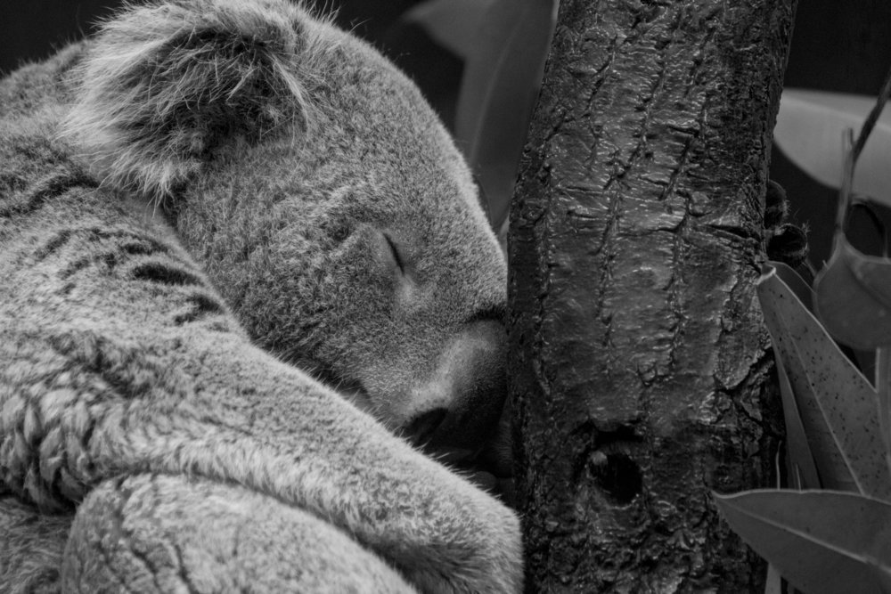 The Koala takes a rest in a fork of the tree.