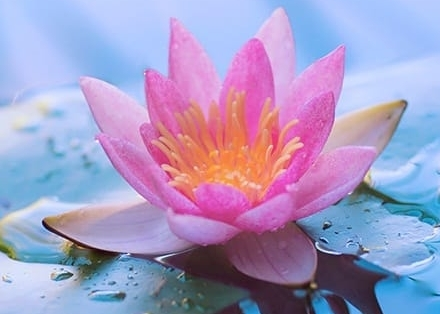 lotus-water-lily-dream.jpg