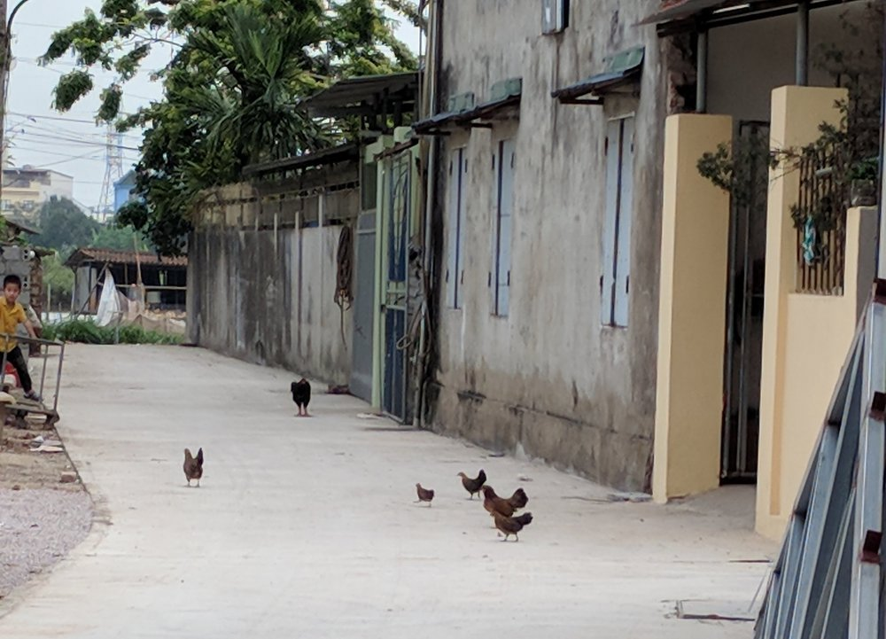 #ruralvietnamlife (although chickens were spotted on the sidewalks of Hanoi, too)