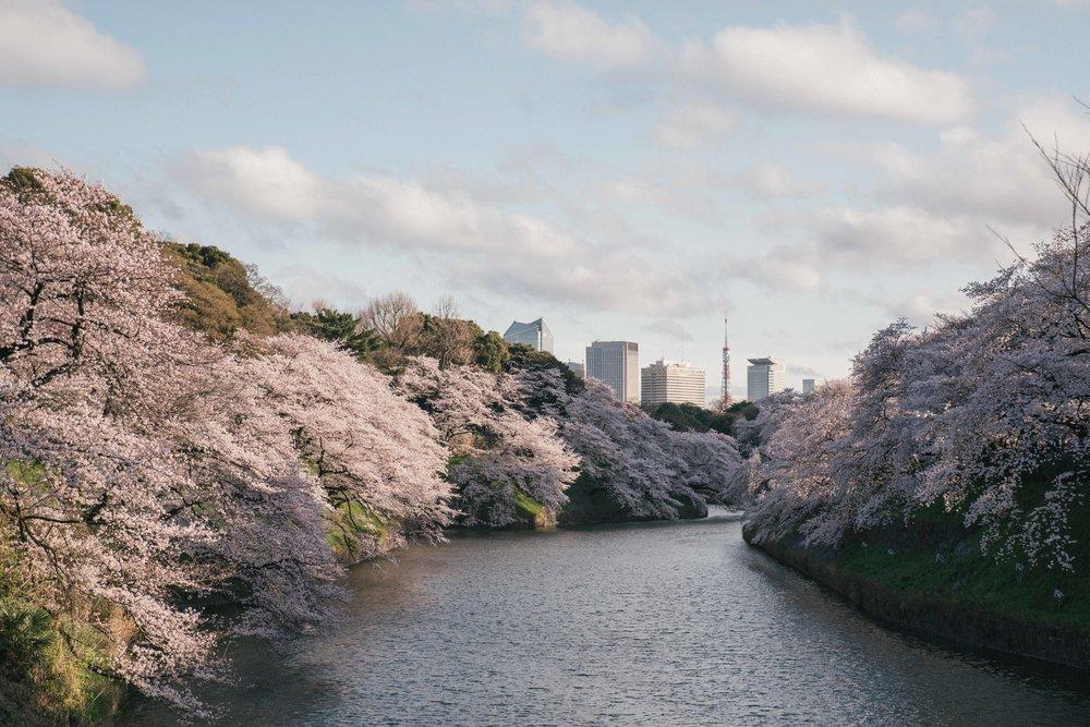 Blommande körsbärsträd i centrala Tokyo