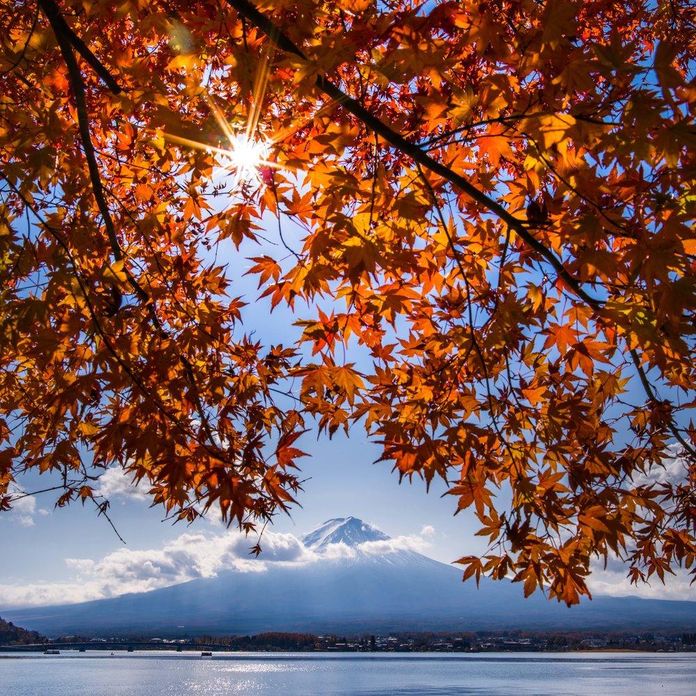 En ikonisk höstbild. Lönnlöv och mt. Fujis snötäckta topp.