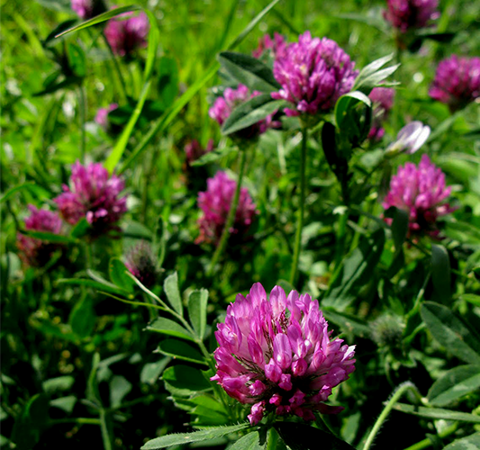 red clover.png