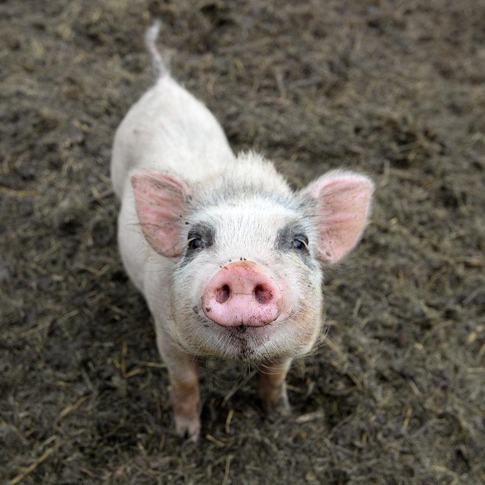 Schwein_Shutterstock.jpg