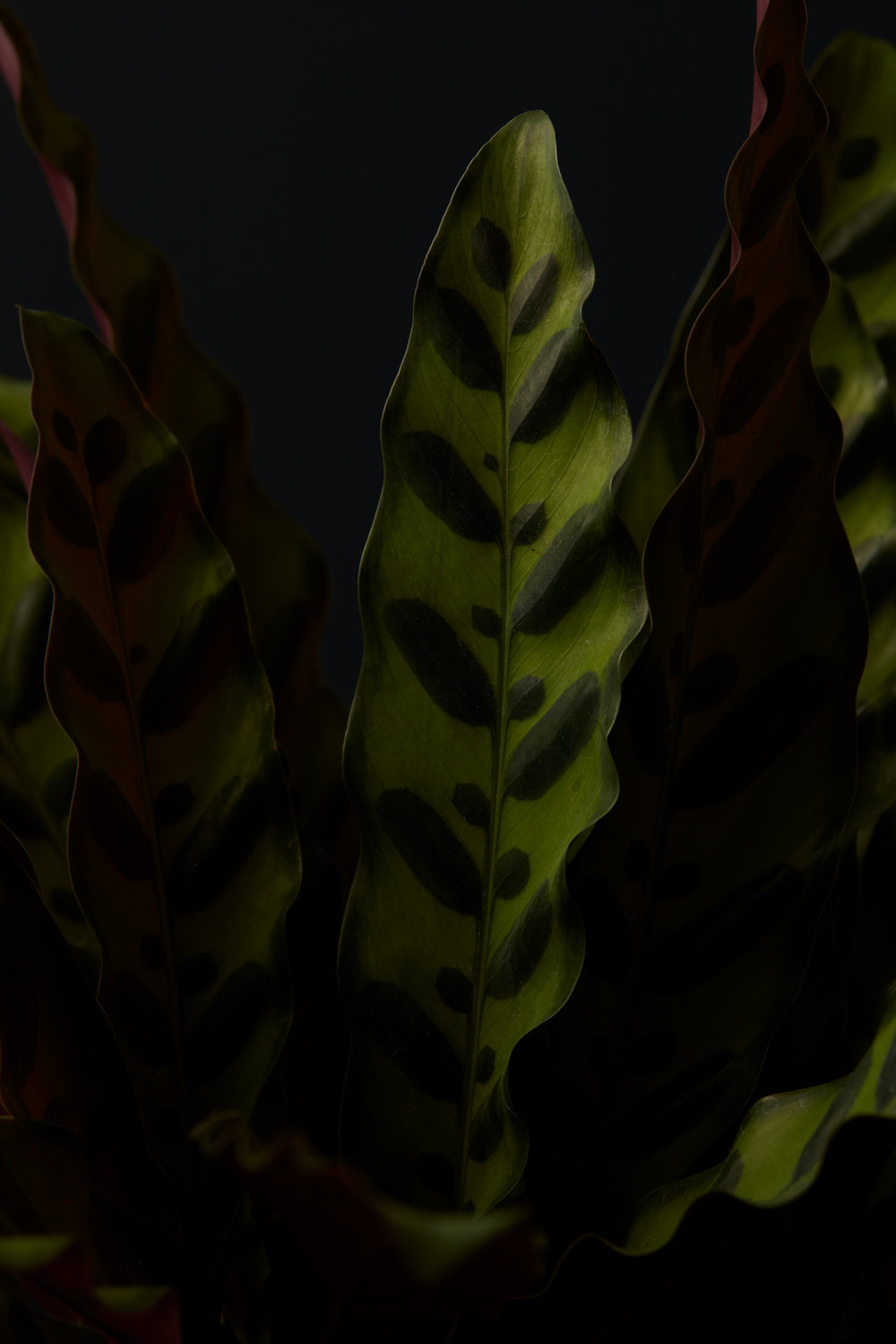 Calatheas - Small to medium plants in decorative pots with top dressing start at 10.00 per day