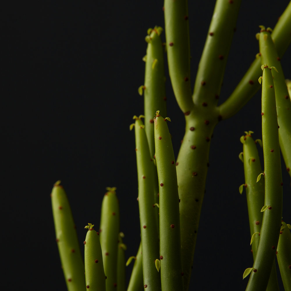 """Pencil Cactus - Cacti and other succulent plants can give a space a unique and architectural feel. Pricing starts at 10.00 for a single specimen in an 8""""decorative pot top dressed with bark or pebbles"""