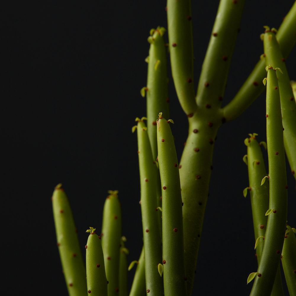 Pencil Cactus - Here is a description of your product. Adipiscing elit. Donec odio. Quisque volutpat mattis eros. Nullam malesuada erat ut turpis.