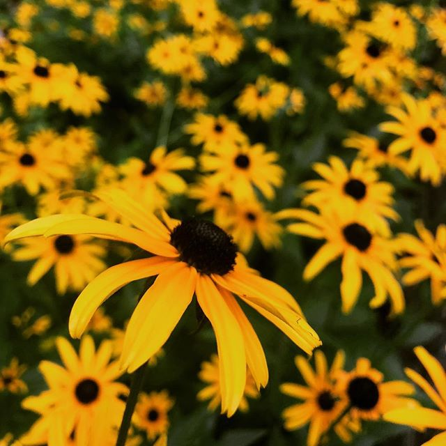 Nothing says summer like a garden full of #blackeyedsusan #rudebekia 🌼🌼🌼🌼🌼