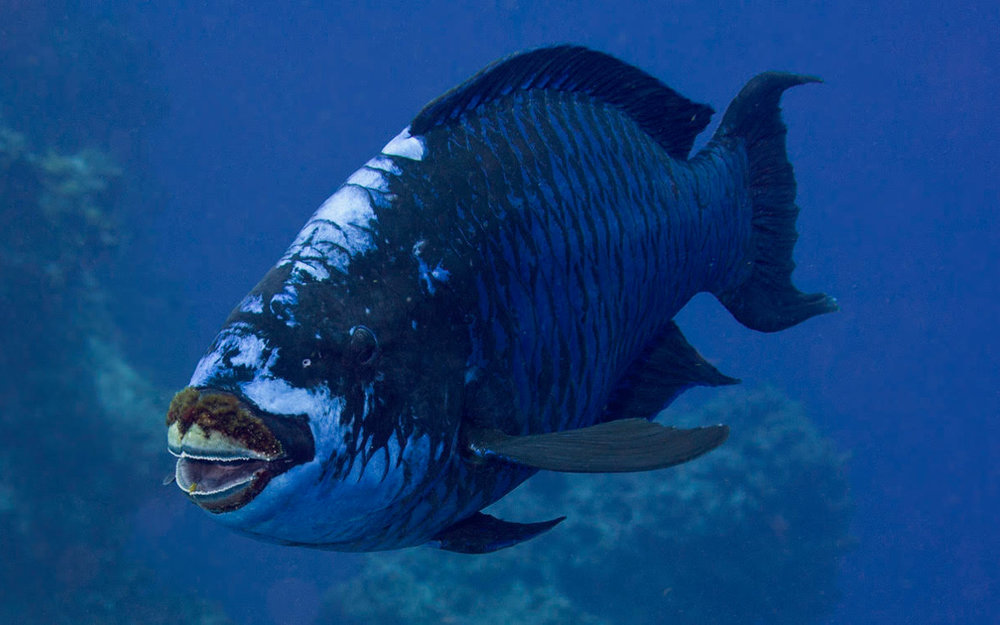 midnightParrotfish.jpg