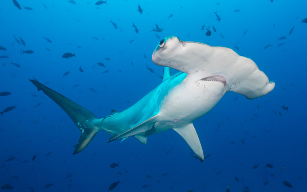 Shark_Hammerhead_Scalloped_Cocos_ykhfqk.jpg