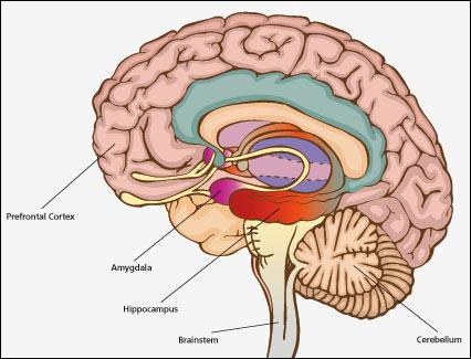 empathy-brain