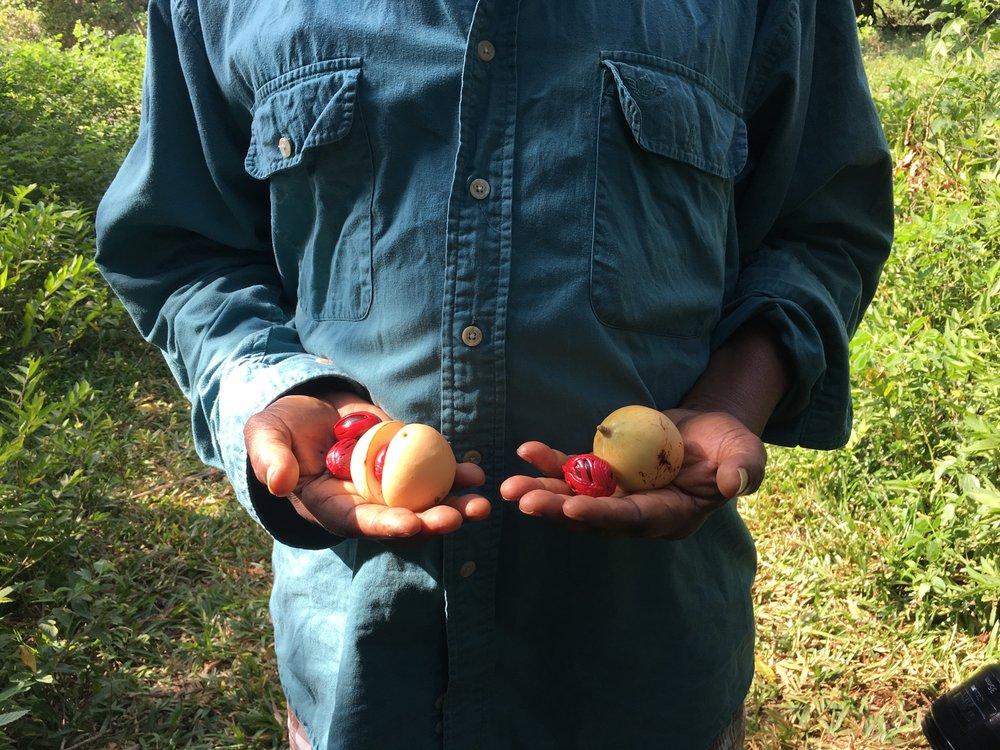 Nutmeg in Zanzibar (1).JPG