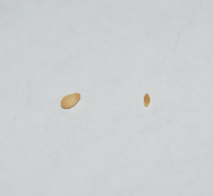 On the left is a roasted sesame seed, on the right is a dried tapeworm segment (proglottid). When they are not dried out, these cat tapeworm egg sacs look like white rice.