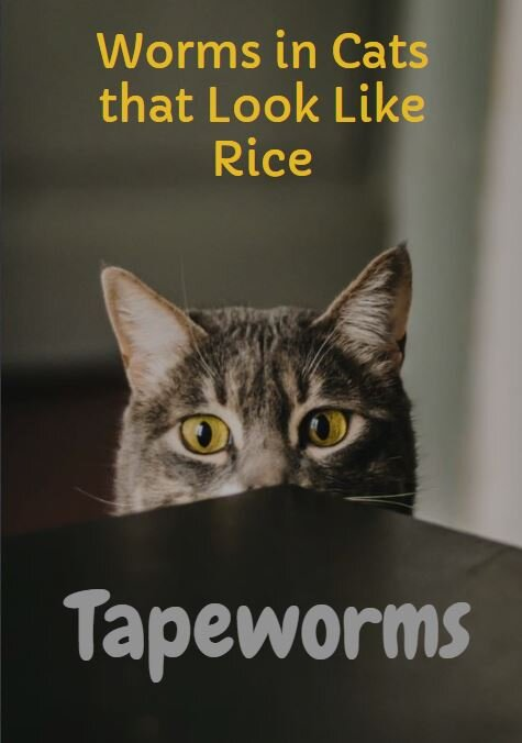 Tapeworms in Cats: What These Worms Look Like & What To Do — Mack