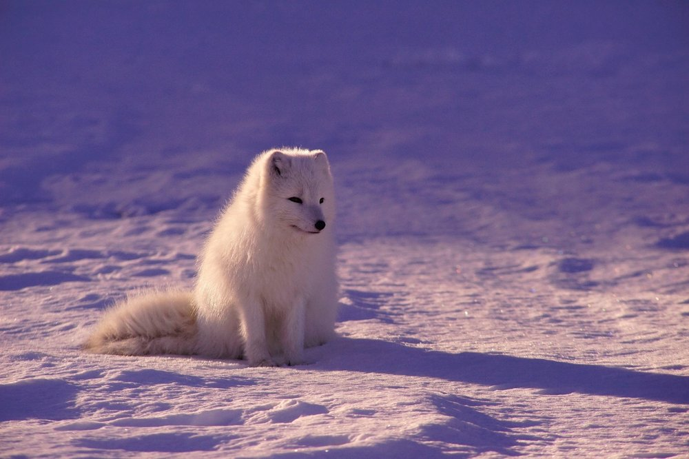 Amazing Arctic Foxes