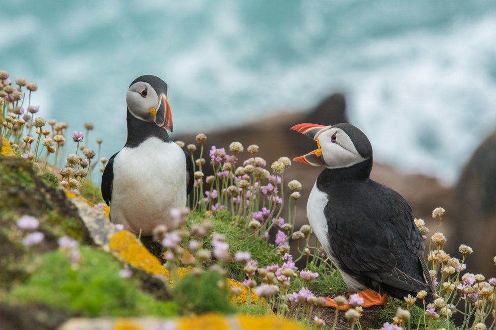 Inquisitive Puffins