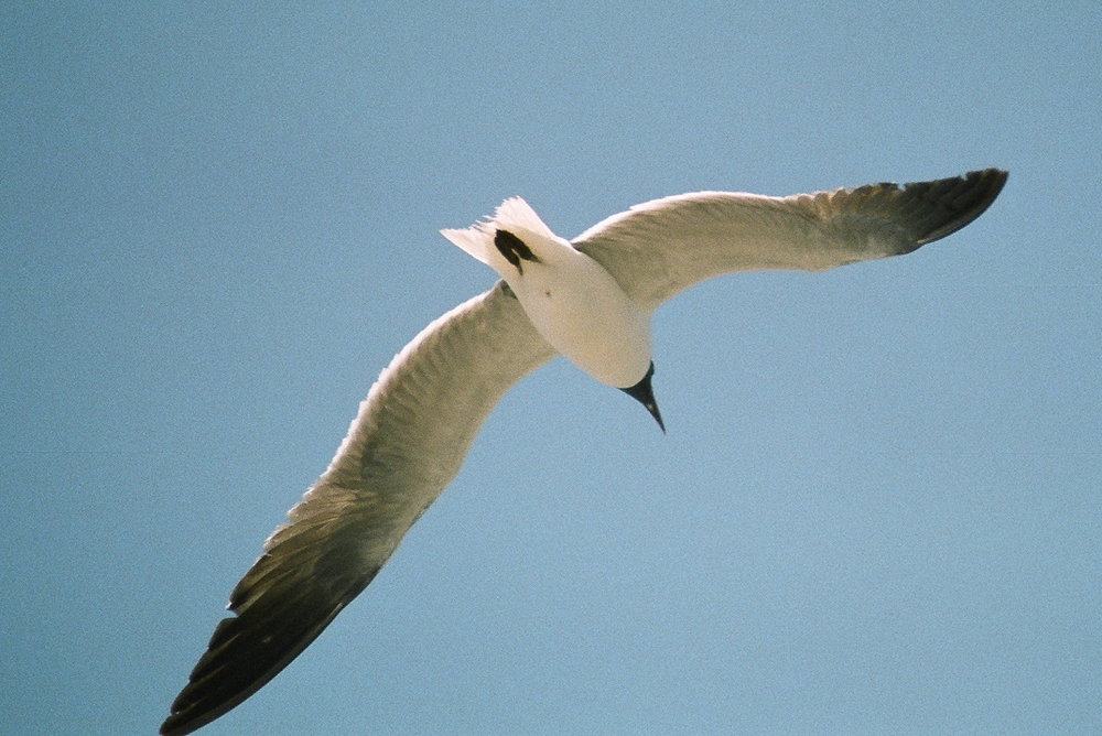 Sea Gull 10.jpg